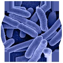 probiotic beneficial bacteria